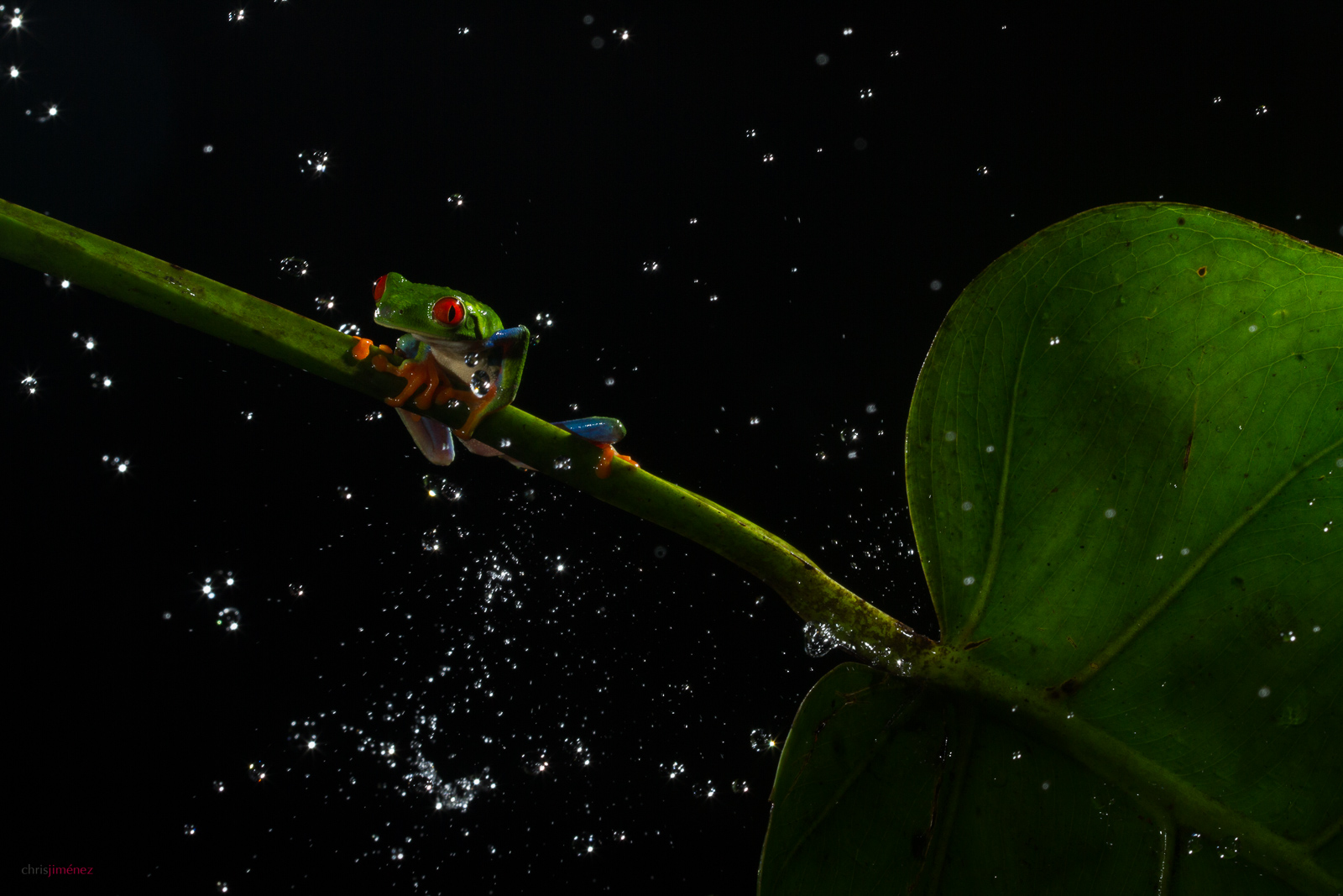 Red-eyed tree frog (Agalychnis callidryas) in the rain at the low lands of Costa Rica