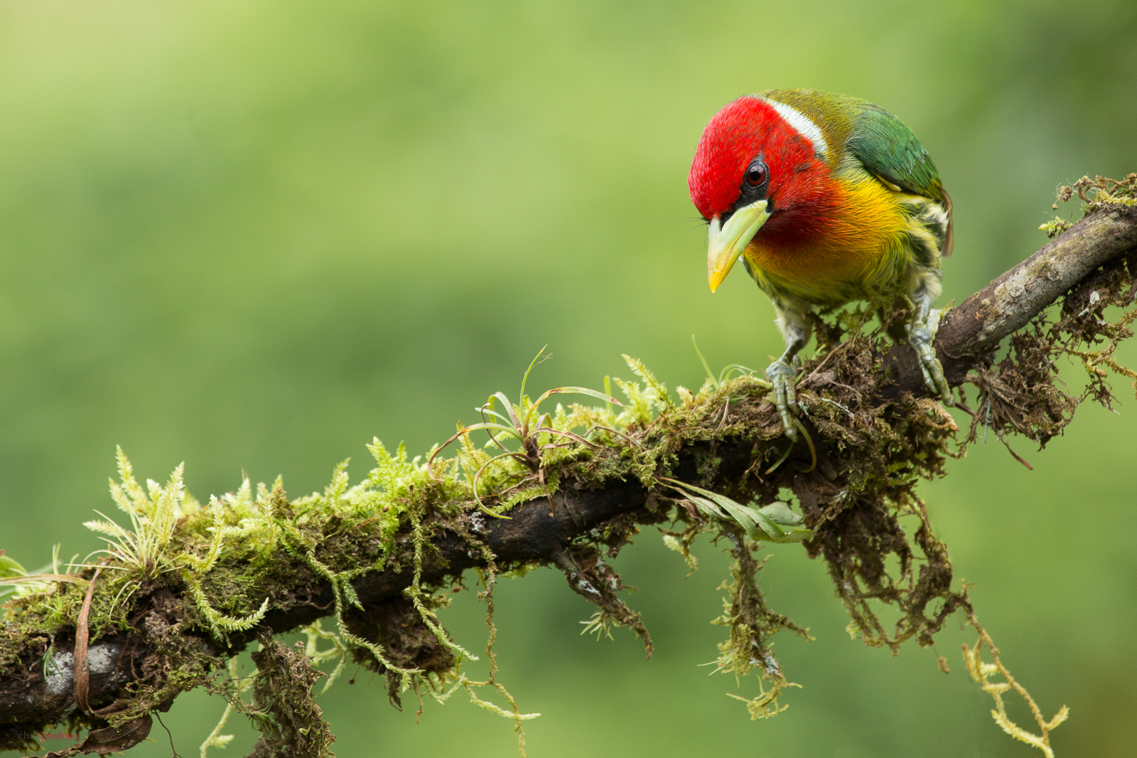 Red-headed barbet (Eubucco bourcierii) perched on a branch at the highlands of Costa Rica, Cinchona, http://www.chrisjimenez.net