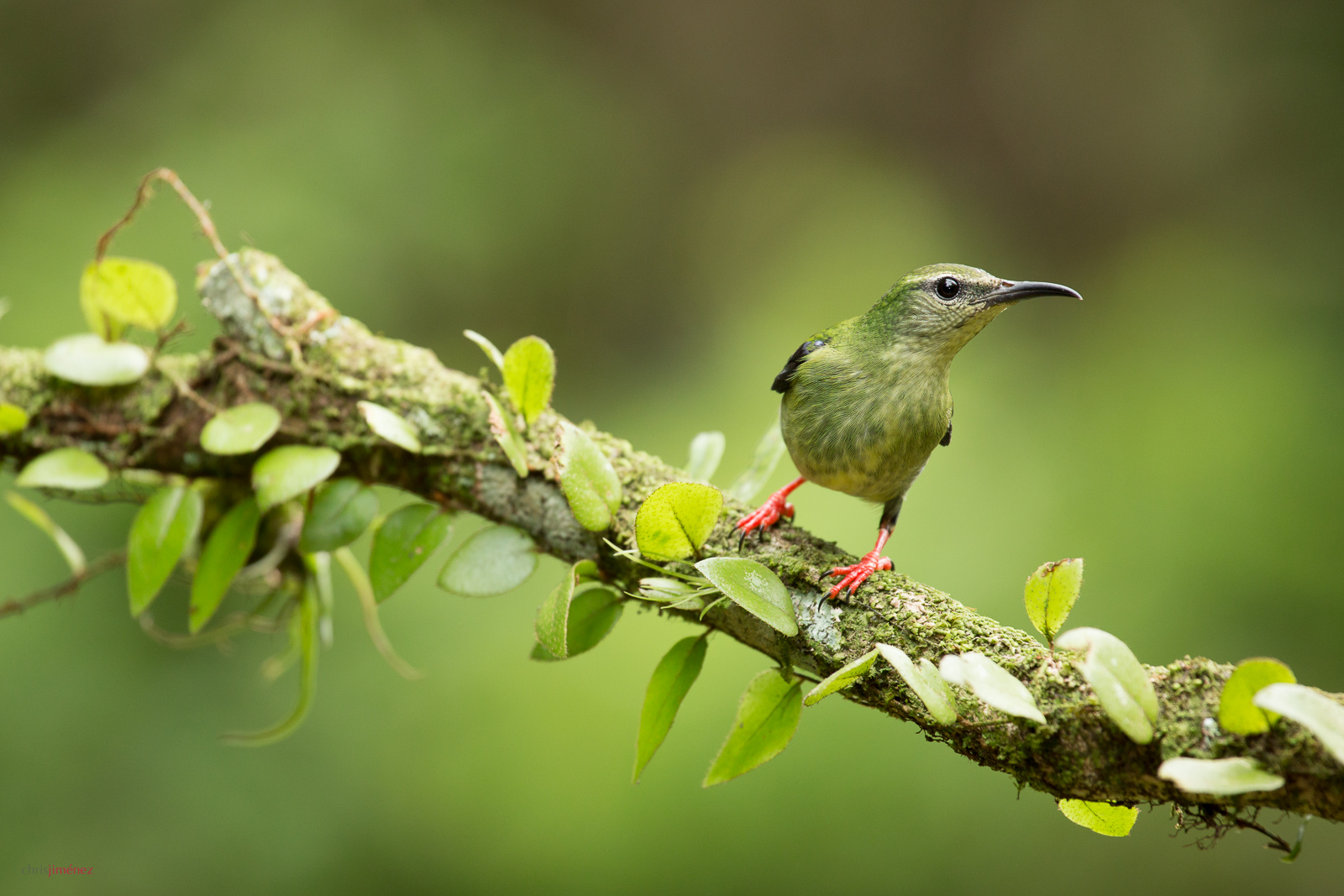 Red-legged honeycreeper (Cyanerpes cyaneus) female perched on a branch