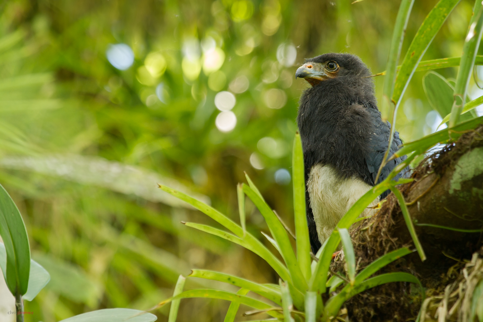 Red-throated Caracara (Ibycter americanus) calling youngster perched on a branch at the low lands of Costa Rica