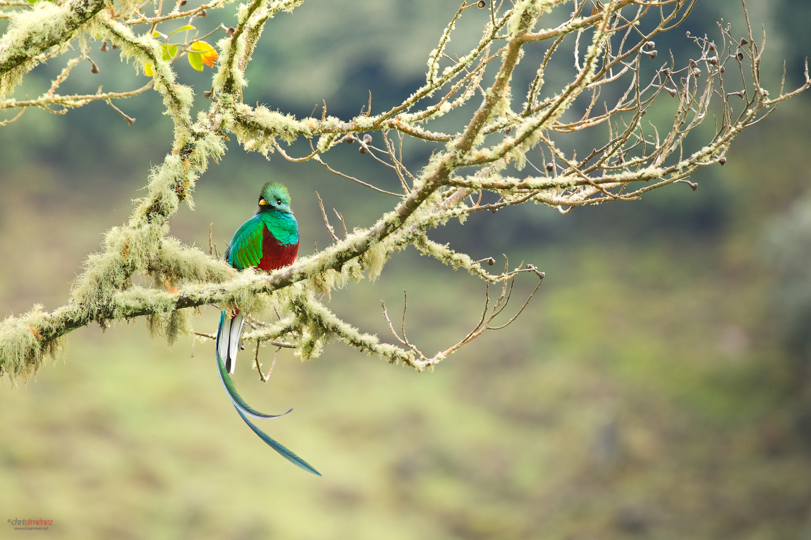 Resplendent Quetzal (Pharomachrus mocinno) perched in a mossy branch