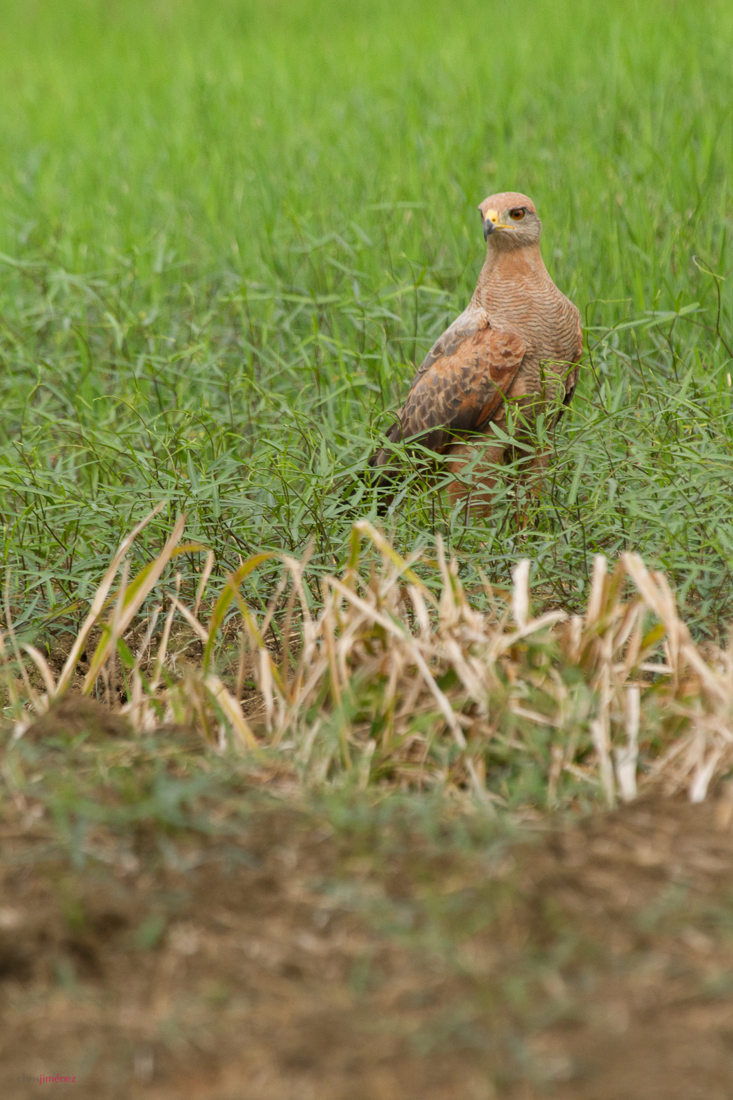 Savanna Hawk (Buteogallus meridionalis) perched on the ground at the low lands of Costa Rica