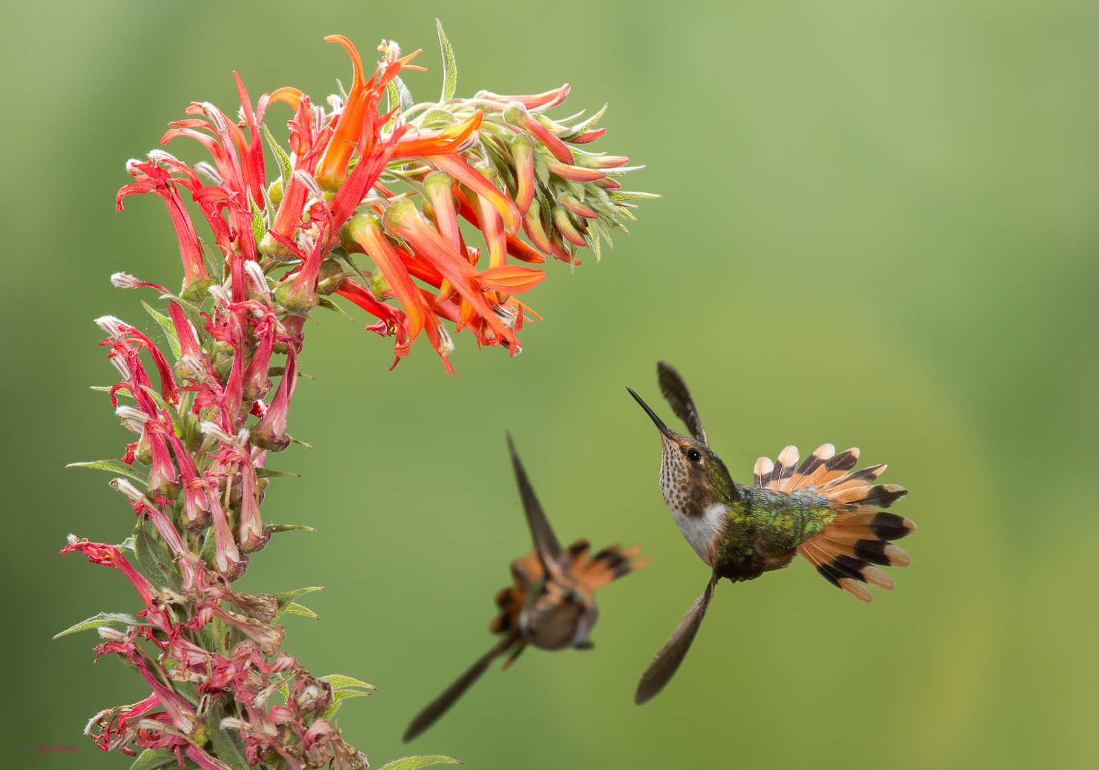 Scintillant Hummingbird (Selasphorus scintilla) females feeding from flowers in flight the Highlands of Costa Rica.