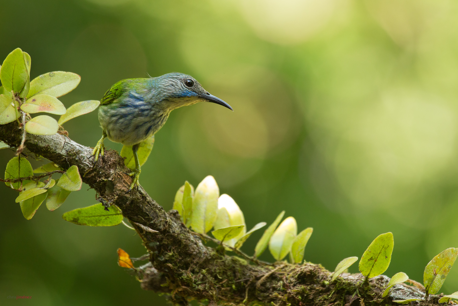 Shining Honeycreeper (Cyanerpes lucidus) perched on a branch at the low lands of Costa Rica, Guapiles, Cope Wildlife http://www.chrisjimenez.net