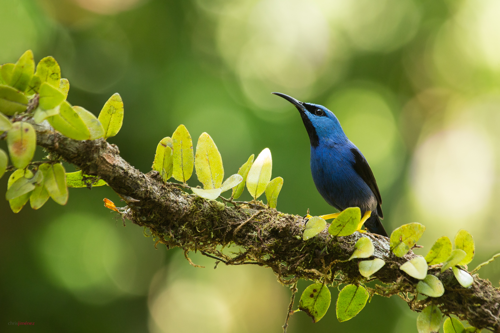 Shining Honeycreeper (Cyanerpes lucidus) perched on a branch