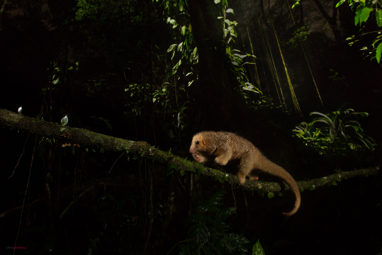 Silky anteater(Cyclopes didactylus) crossing a vine at night at the low lands of Costa Rica, Guapiles, Cope Wildlife