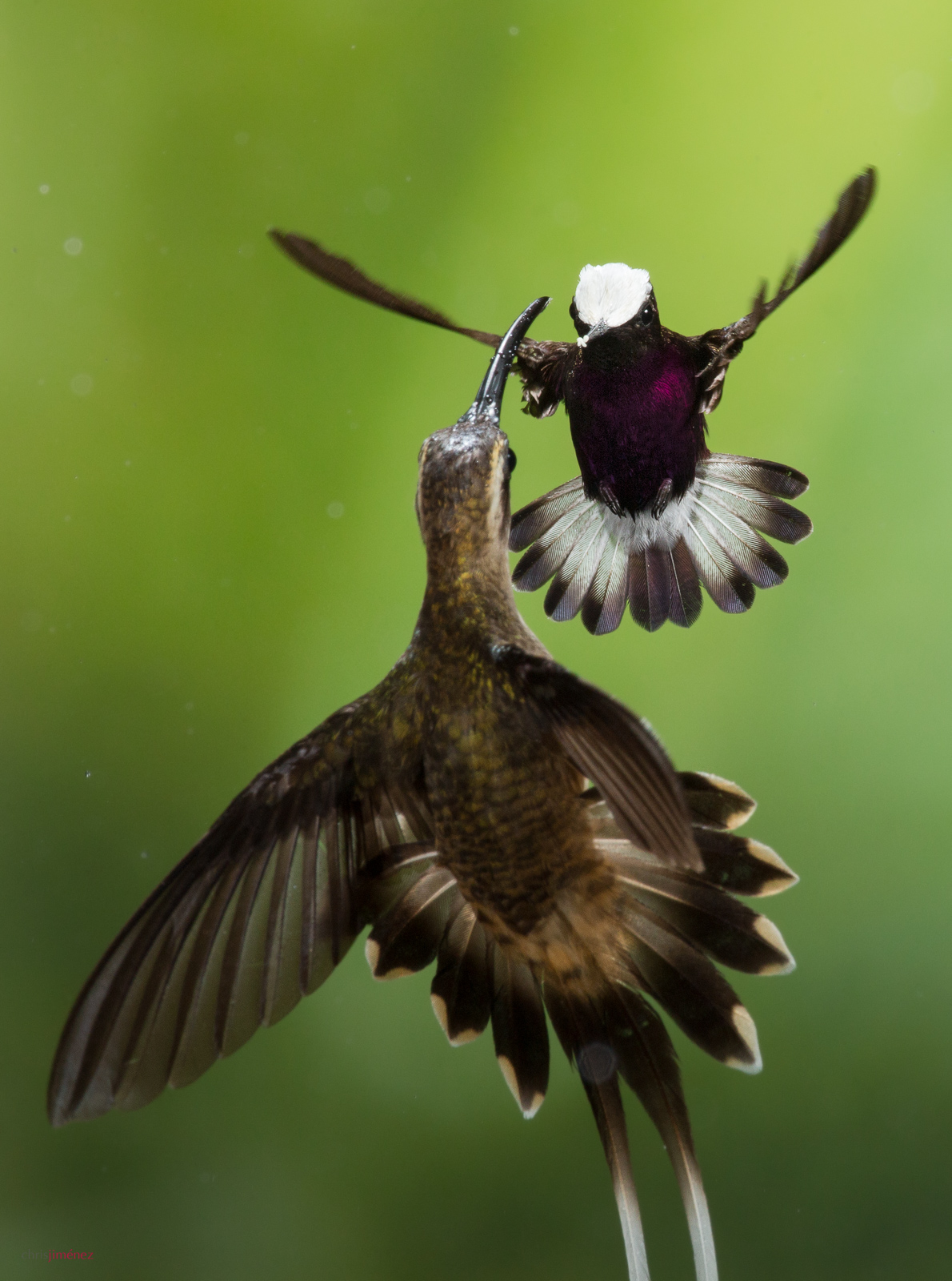 Snowcap (Microchera albocoronata) male defending his territory in flight at the low lands of Costa Rica