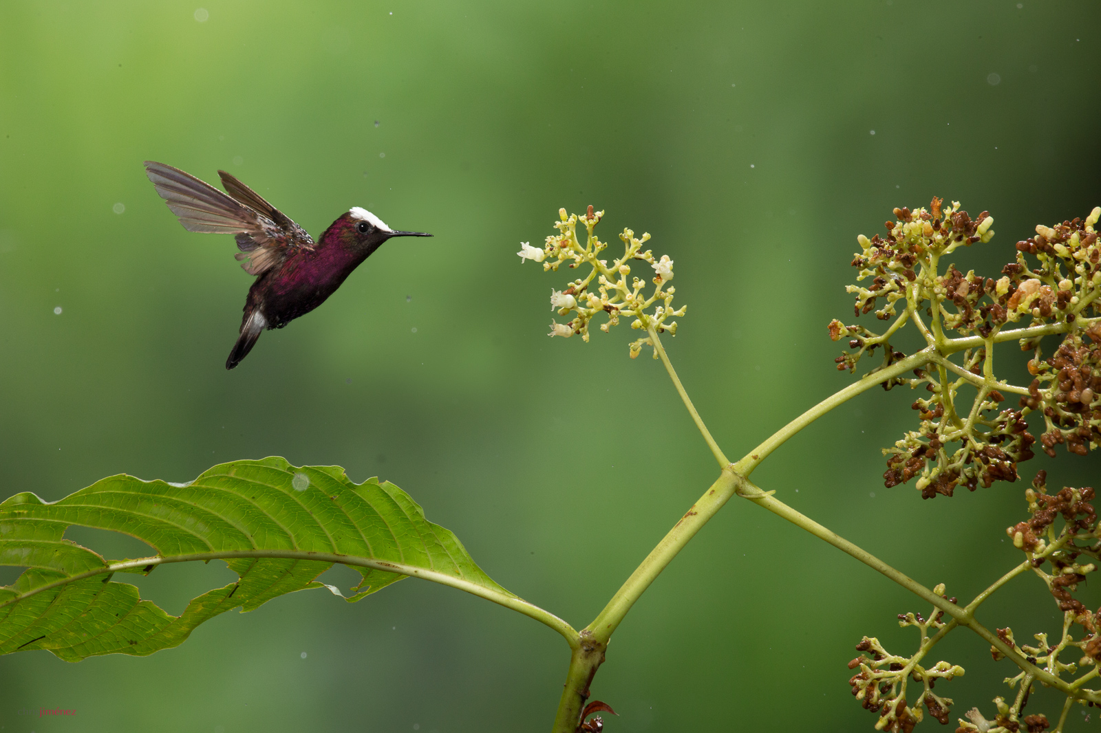 Snowcap (Microchera albocoronata) male fedding from flowers in flight at the lowlands of Costa Rica
