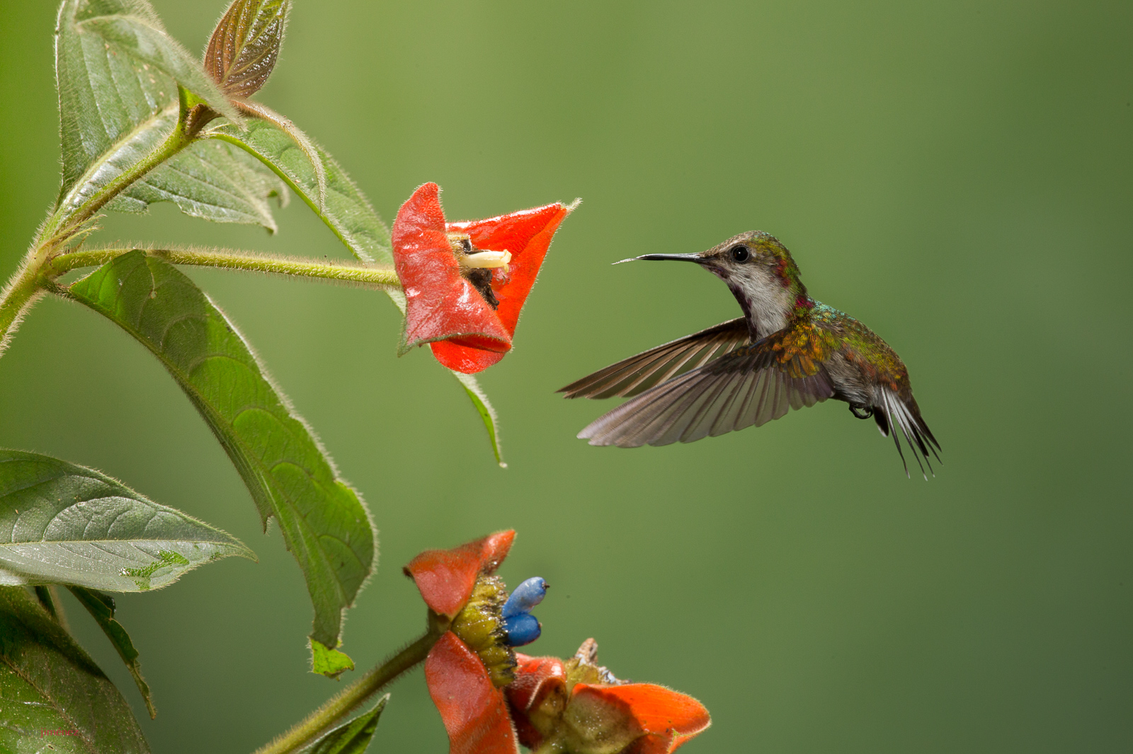 Snowcap (Microchera albocoronata) juvenile feeding from flowers in flight at the low lands of Costa Rica