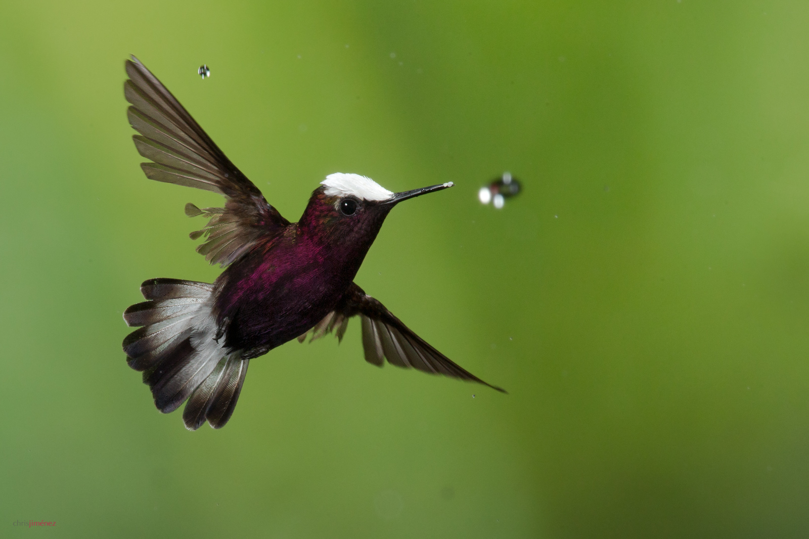 Snowcap (Microchera albocoronata) in flight under the rain with water drop at the low lands of Costa Rica