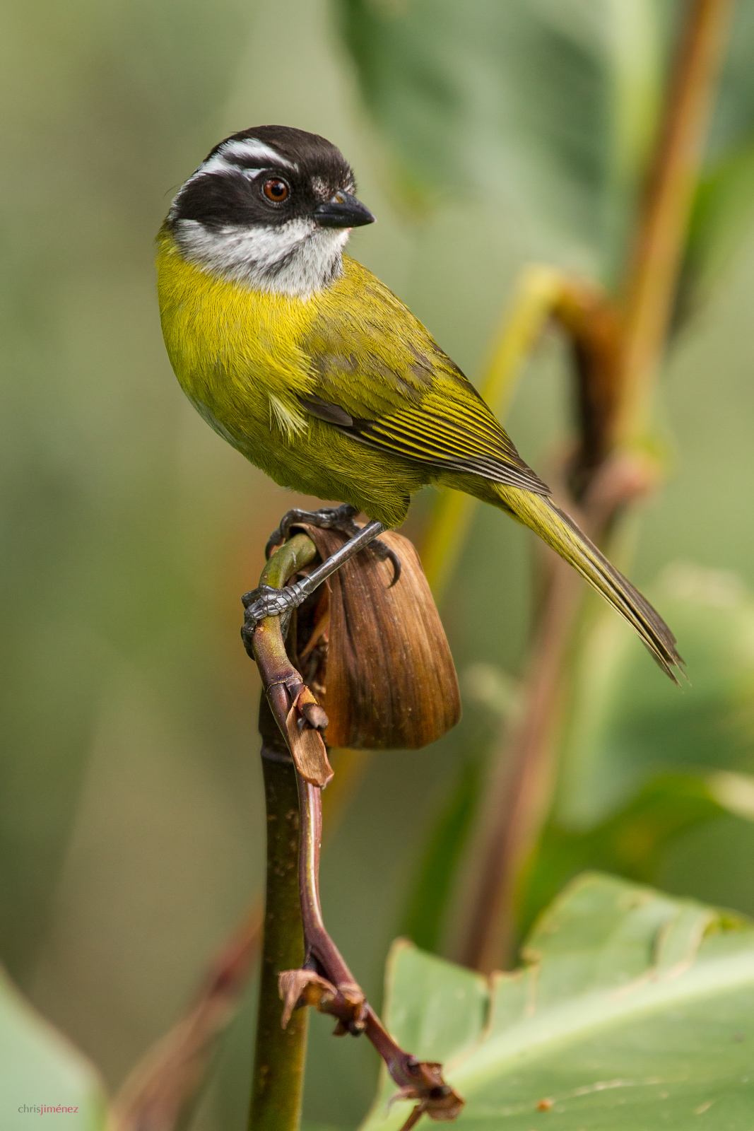 Sotty-capped Bush-Tanager