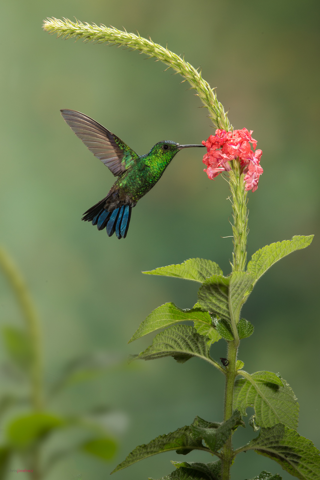 Steely-vented Hummingbird (Amazilia saucerrottei) feeding from flowers in flight