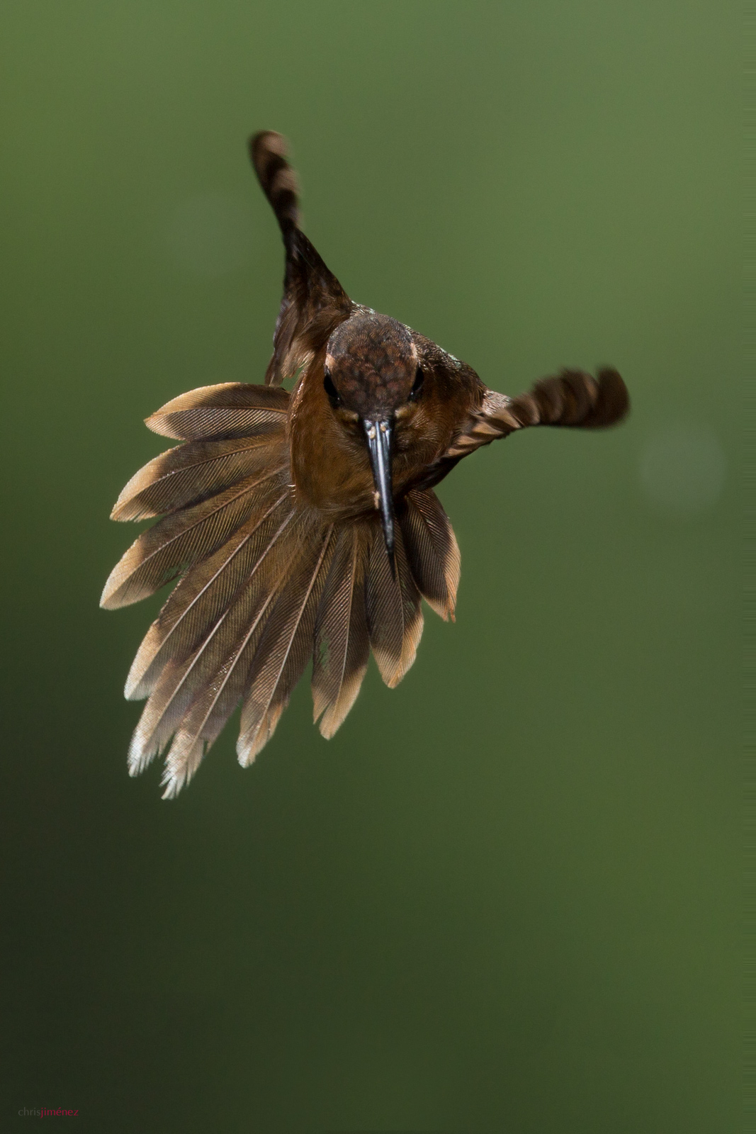 Stripe-throated Hermit (Phaethornis striigularis) showing tail display at the low lands of Costa Rica