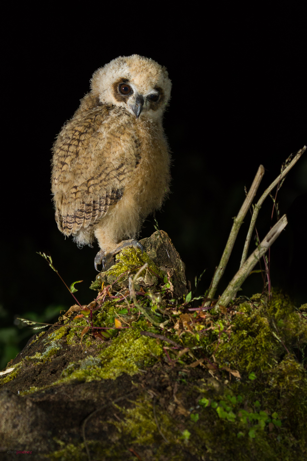 Striped Owl (Pseudoscops clamator) owlet, perched on mossy branch at night in Costa Rica.
