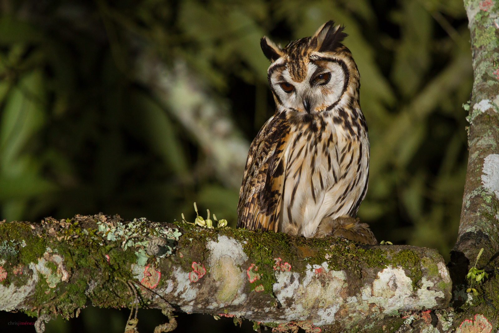 Striped Owl (Pseudoscops clamator) with prey perched on a branch