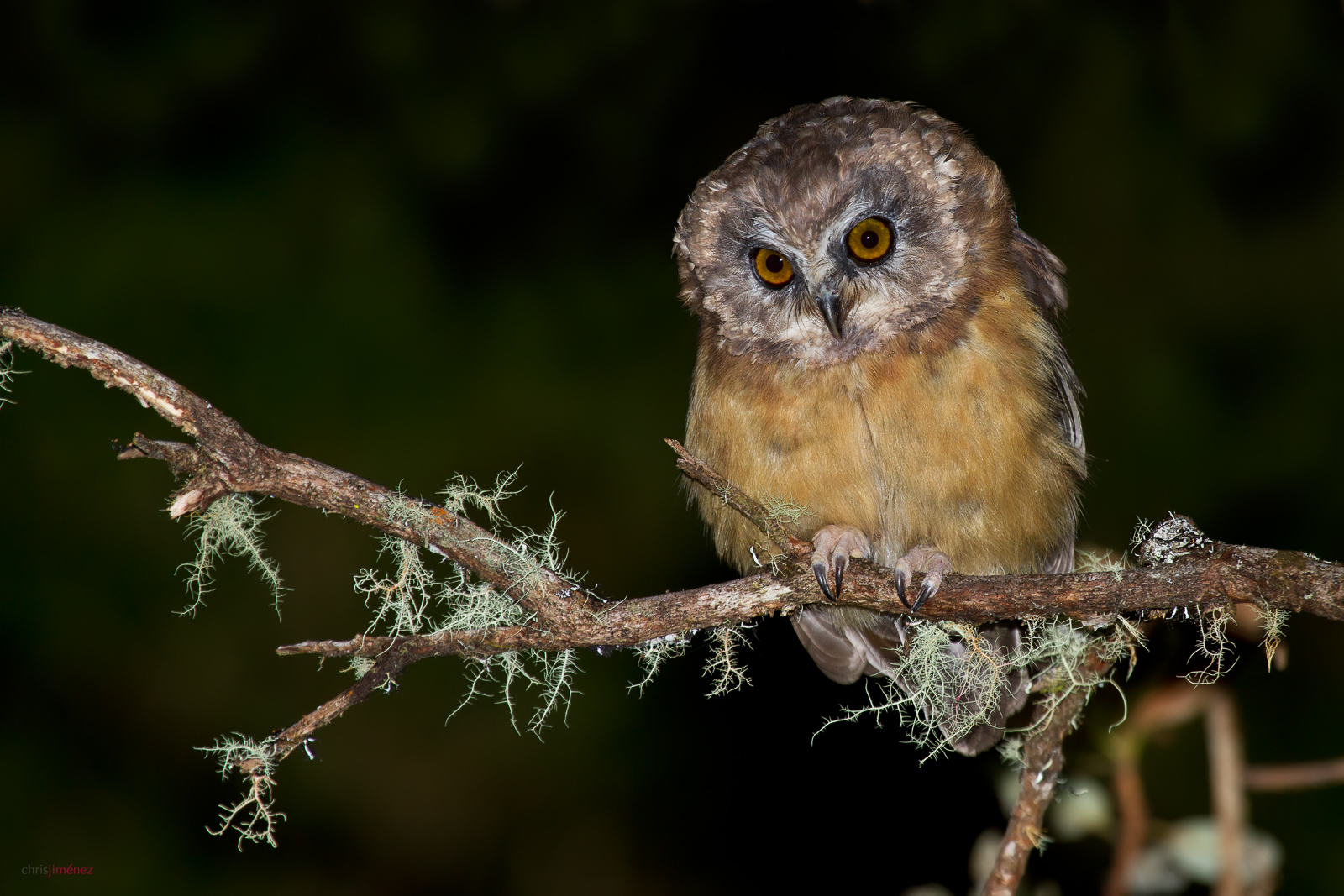 Unspotted Saw-whet Owl (Aegolius ridgwayi). Probatly one of the very few pictures in the wild of this very rare owl. After more than 1 years of looking for the spicie on top peaks of Costa Rica, I manage to get a shot of this Juvenile. Taken at Chirripo National Park, Costa Rica.