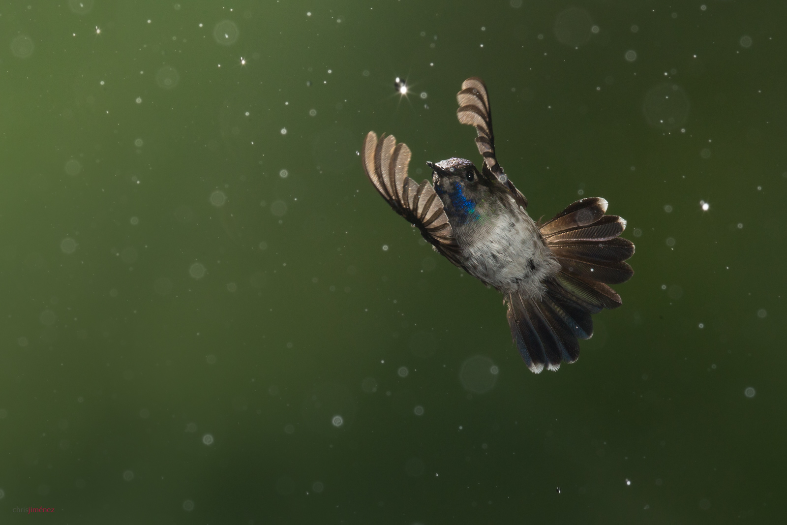 Violet-headed Hummingbird (Klais guimeti) male, in flight under the rain at the lowlands of Costa Rica