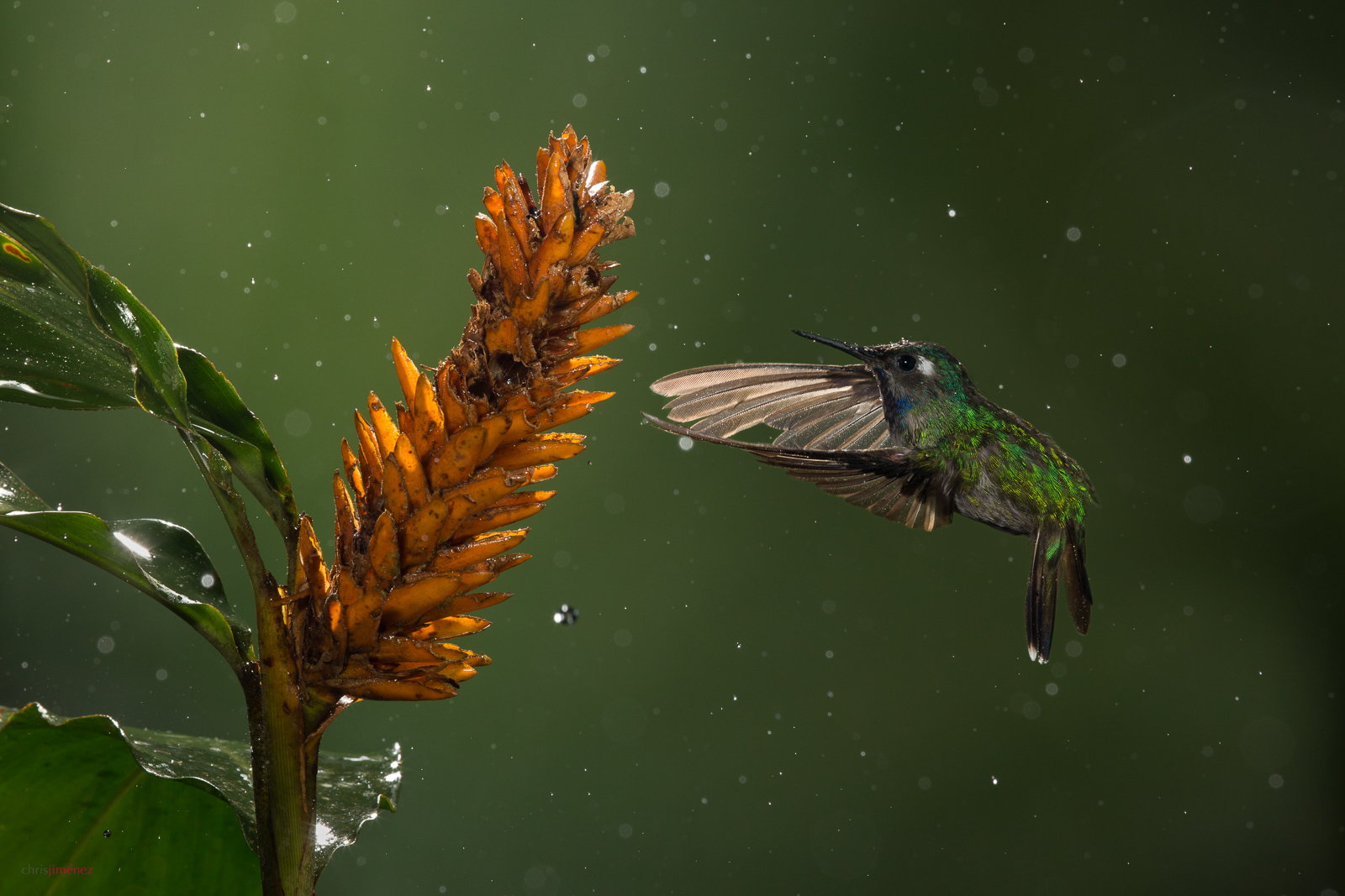Violet-headed Hummingbird (Klais guimeti) male, feeding from flowers in the rain at the lowlands of Costa Rica