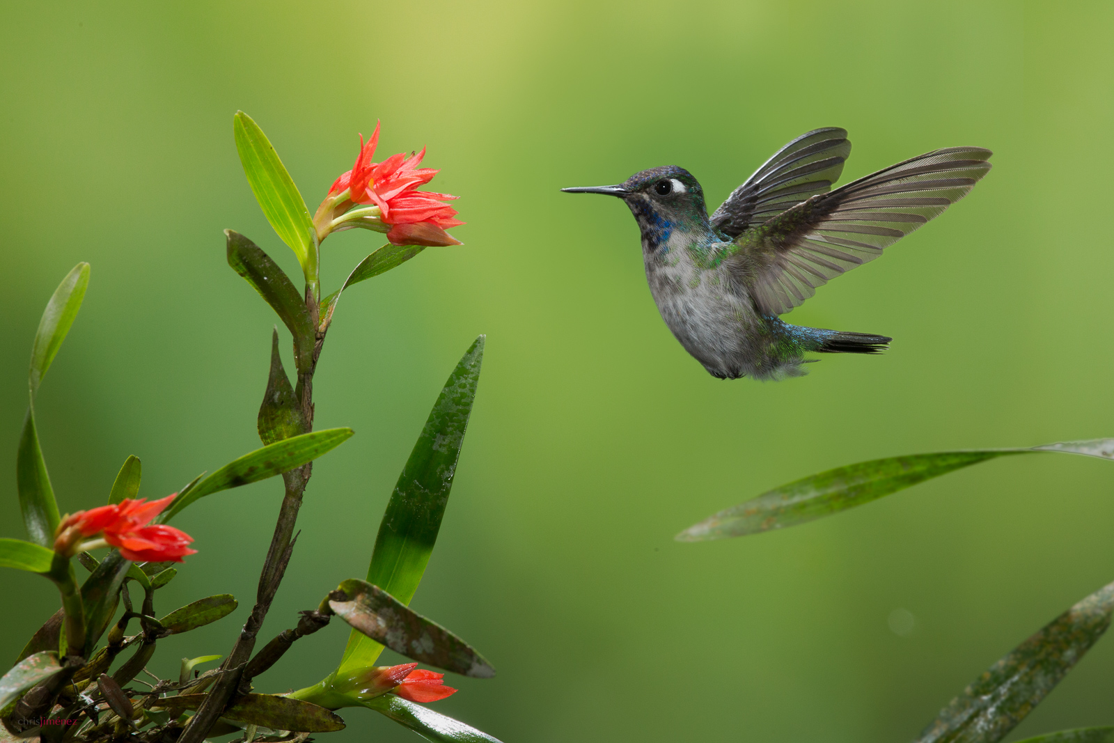 Violet-headed Hummingbird (Klais guimeti) male, feeding from flowers at the lowlands of Costa Rica