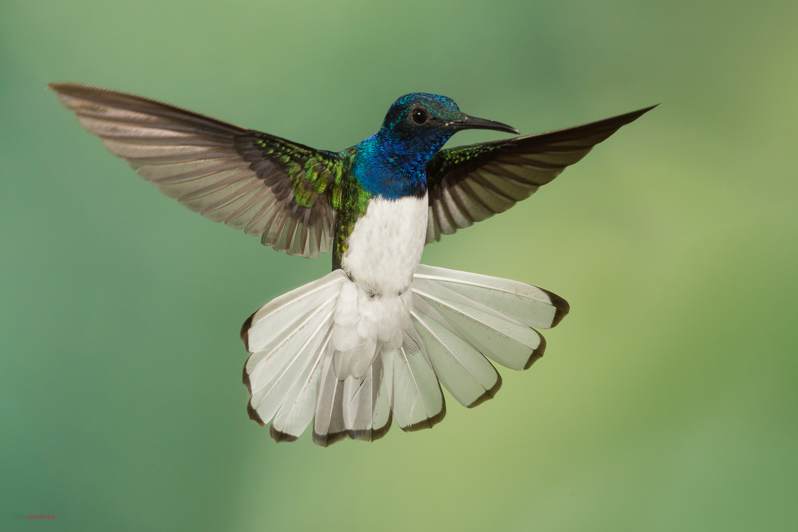 White-necked Jacobin (Florisuga mellivora) male in flight at the low lands of Costa Rica