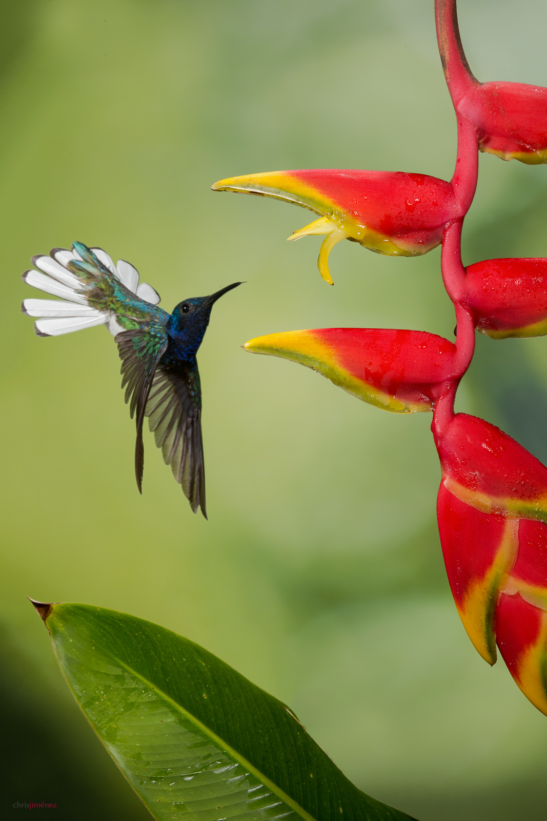 White-necked Jacobin (Florisuga mellivora) feeding from heliconia flower at Sarapiqui, Costa Rica.