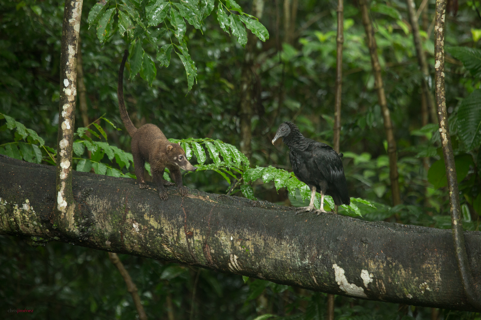 White-nosed coati and Black Vulture meet in a branch in the rainforest of Costa Rica