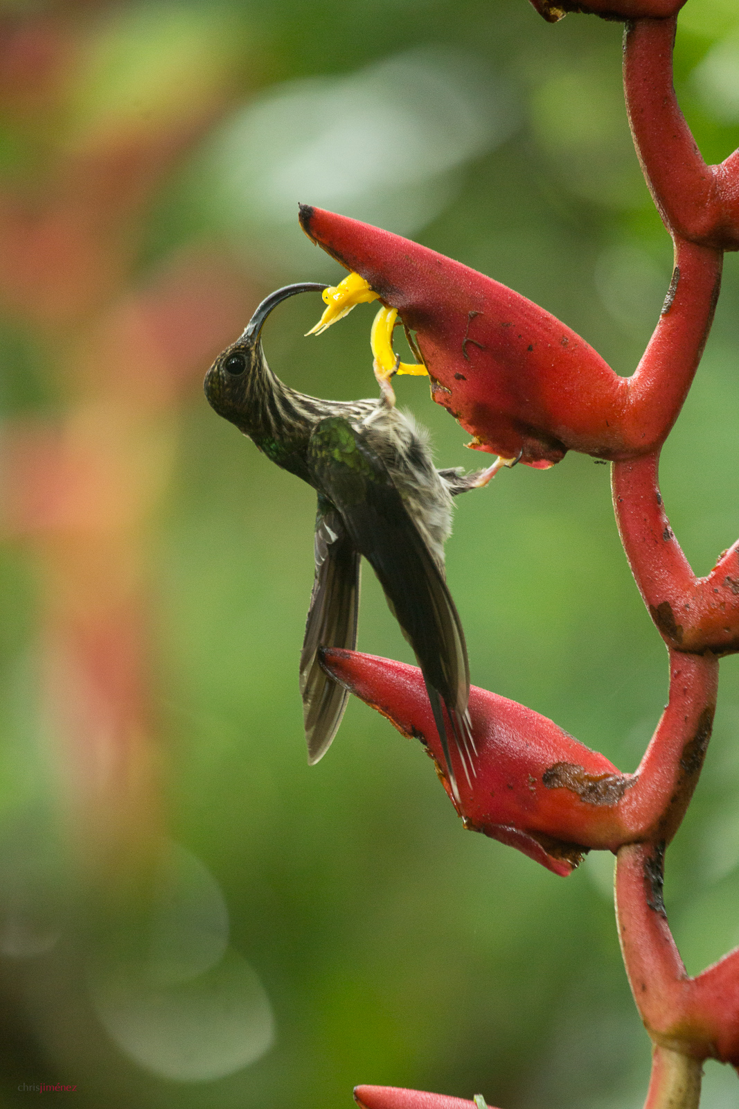White-tipped sicklebill (Eutoxeres aquila) feeding from heliconia flowers at the low lands of Costa Rica