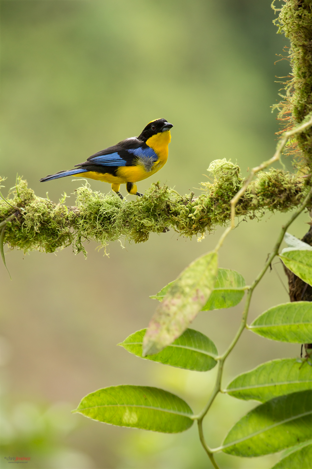 Blue Winged Mountain Tanager (Anisognathus somptuosus) perched on a branch at the rainforest at Cali, Colombia