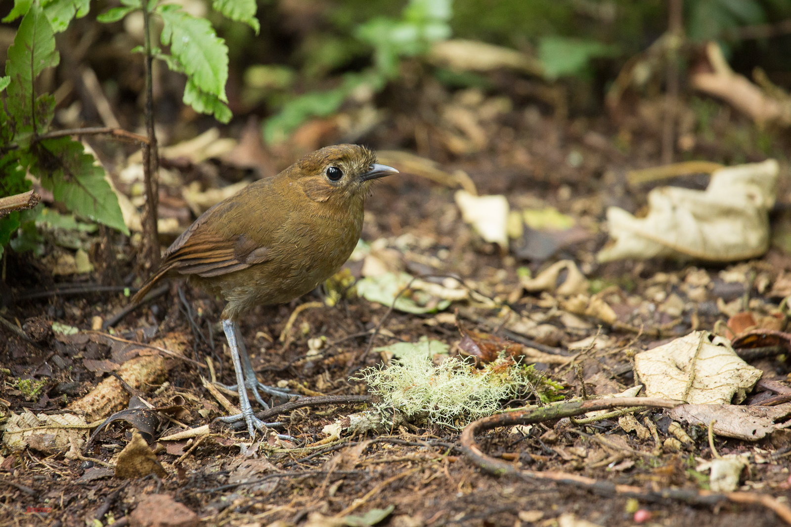 Brown Banded Antpitta in the rainforest-2