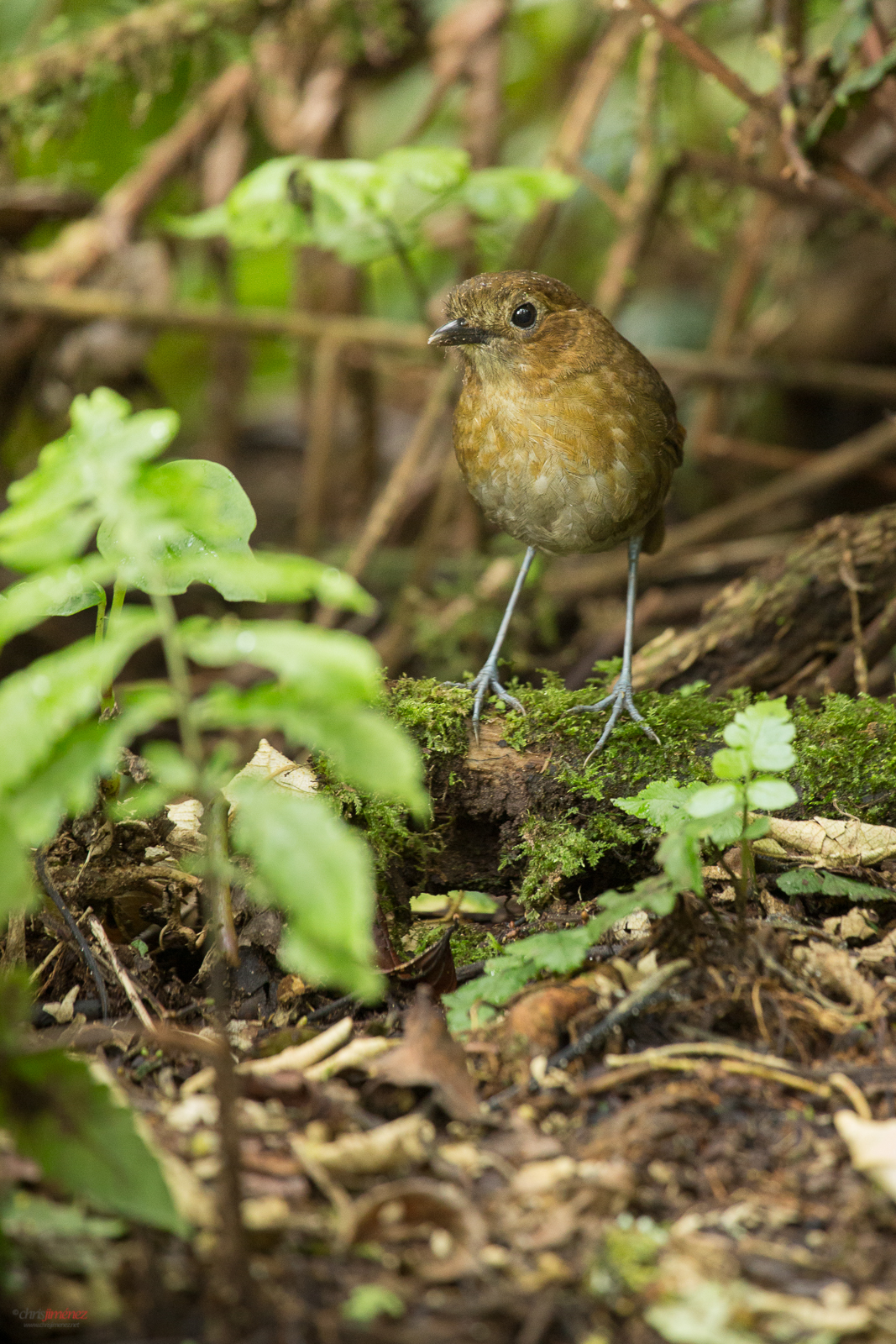 Brown Banded Antpitta in the rainforest