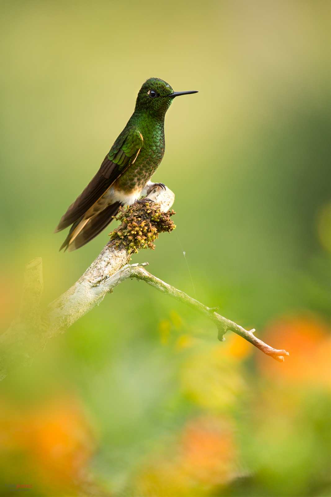 Buff Tailed Coronet (Boissonneaua flavescens) perched on a branch over flowers at Manizales, Colombia