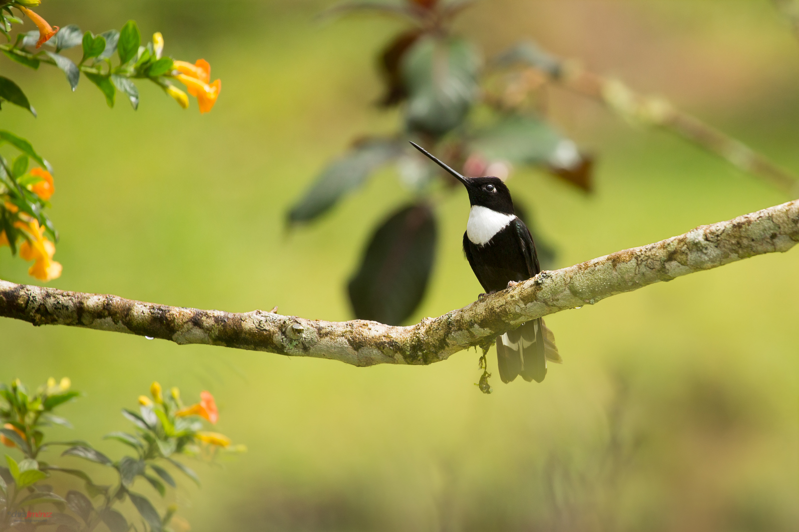 Collared Inca (Coeligena torquata) perched on a branch at Manizales Colombia