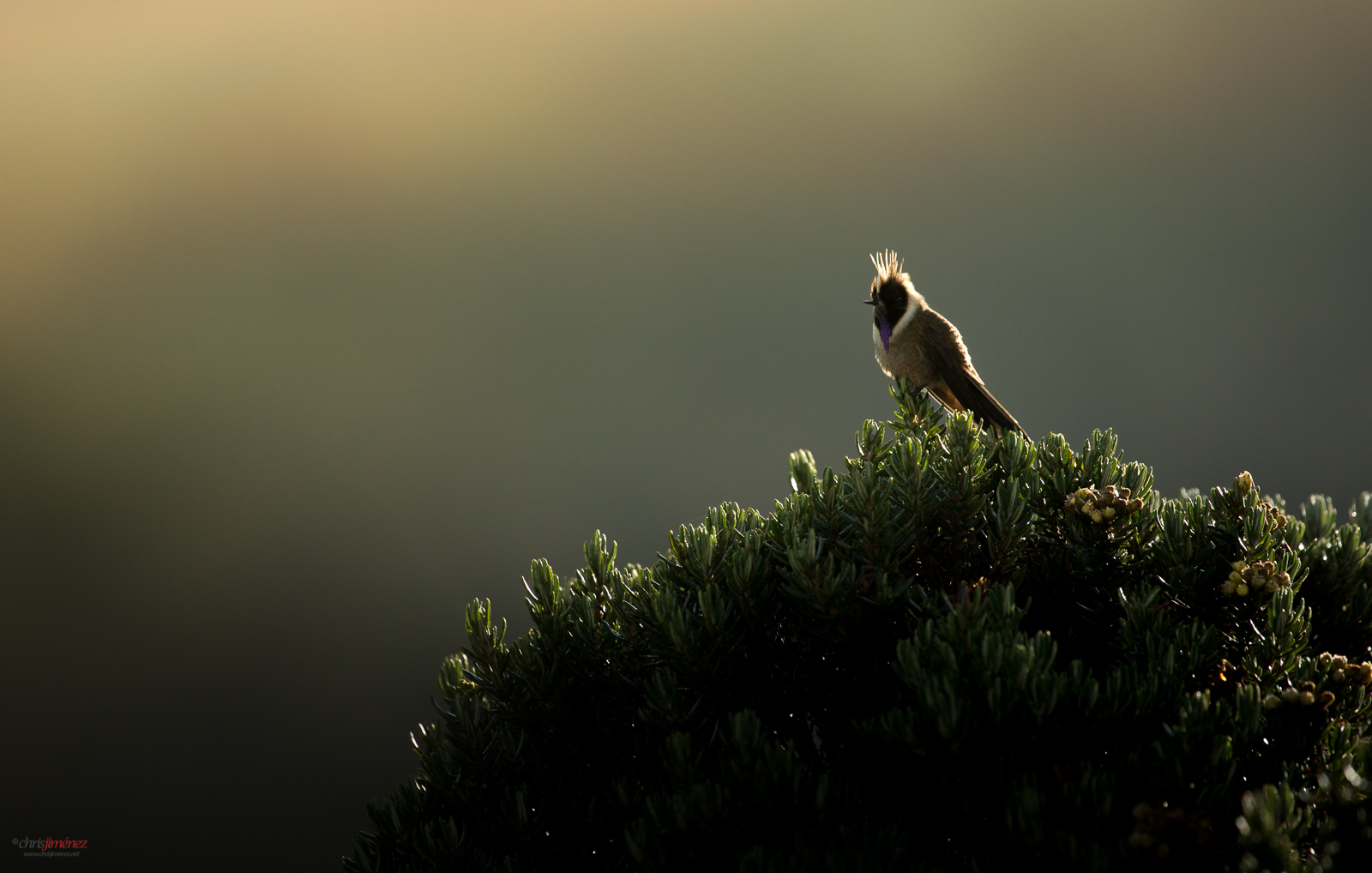 Green Bearded Helmetcrest (Oxypogon guerinii) perched, under the morning light at the Highlands of Colombia, Manizales