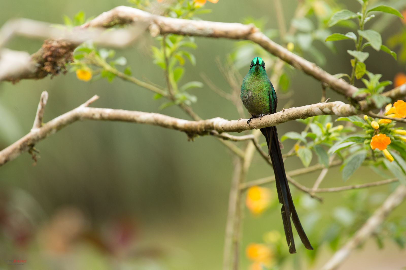 Long Tailed Sylph (Aglaiocercus kingi) perched on a branch at Manizales, Colombia