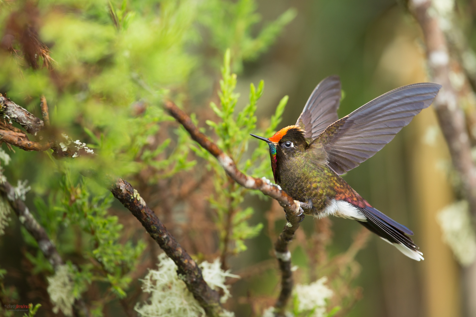 Rainbow-bearbed thornbill (Chalcostigma herrani) extending its wings at the highlands of Colombia, Manizales