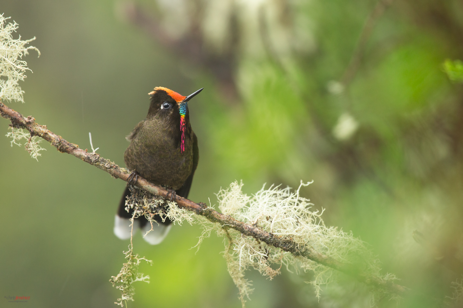 Rainbow-bearbed thornbill (Chalcostigma herrani) perched on a mossy branch at the highlands of Colombia, Manizales