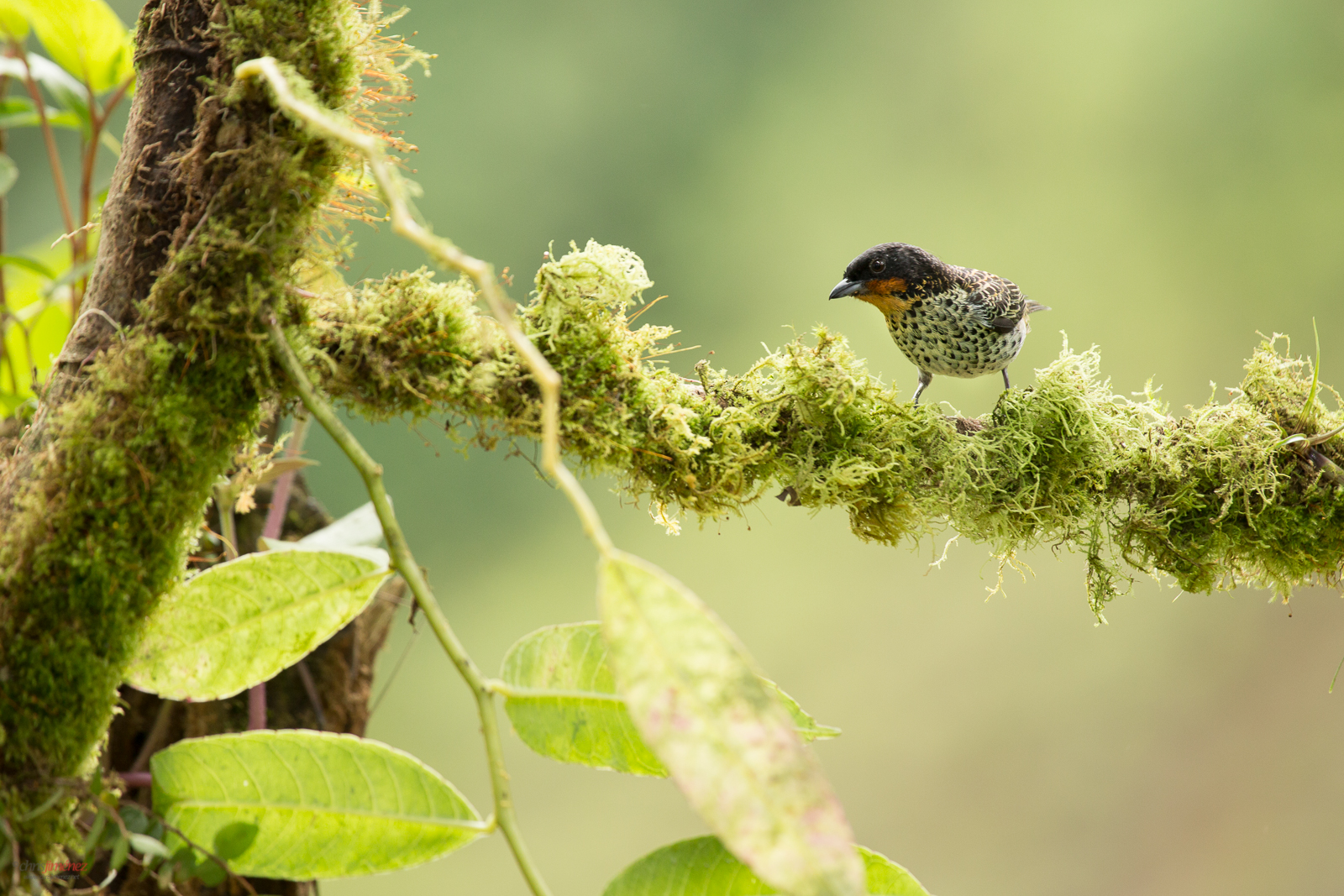 Rufous Throated Tanager (Tangara rufigula) perched on a branch at the rainforest of Cali, Colombia