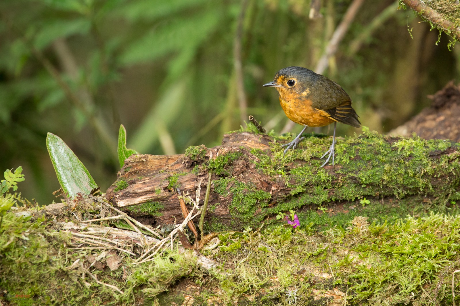 Slate Crowned Antpitta (Grallaricula nana) perched on a branch
