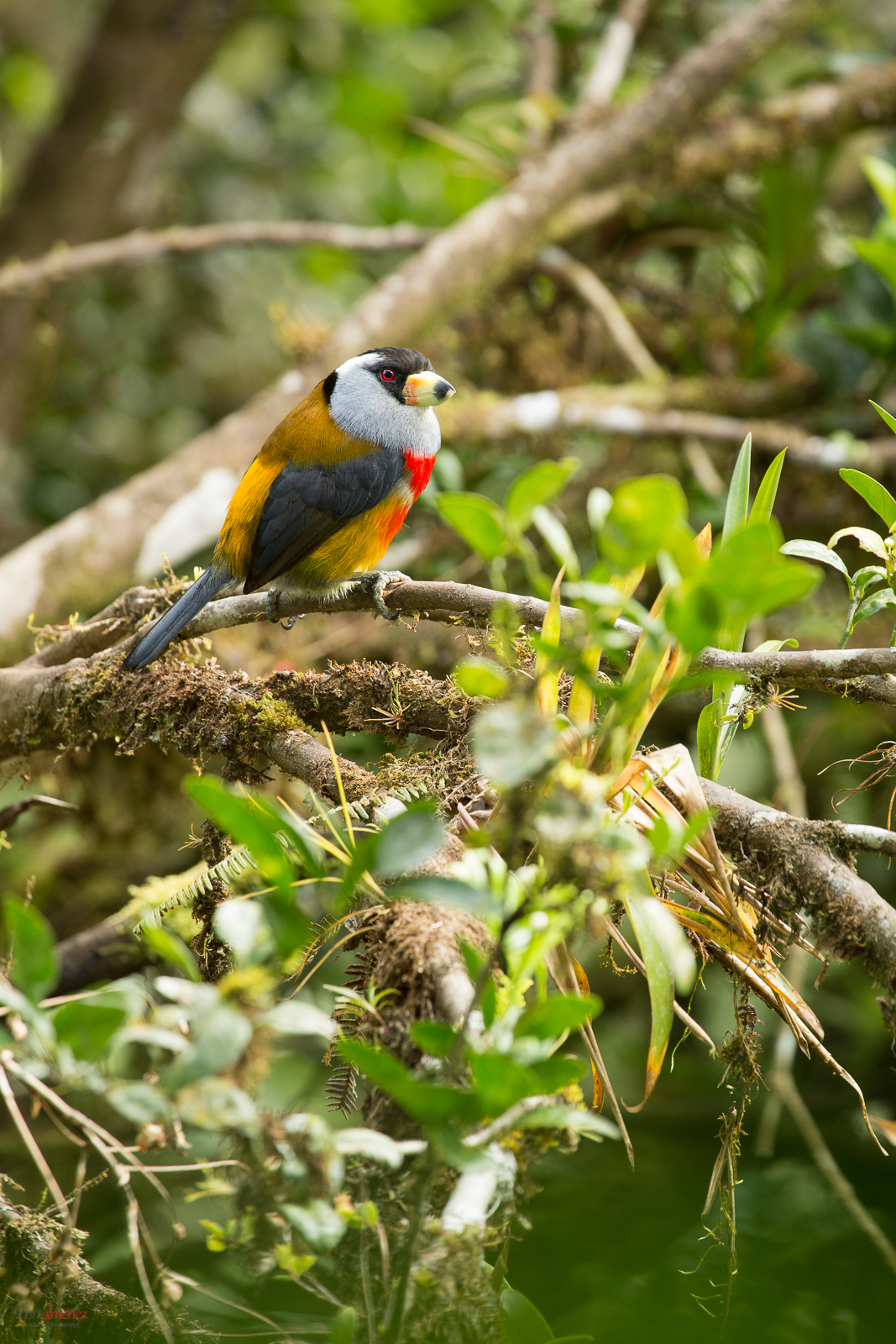Toucan Barbet (semnornis ramphastinus) perched on a branch