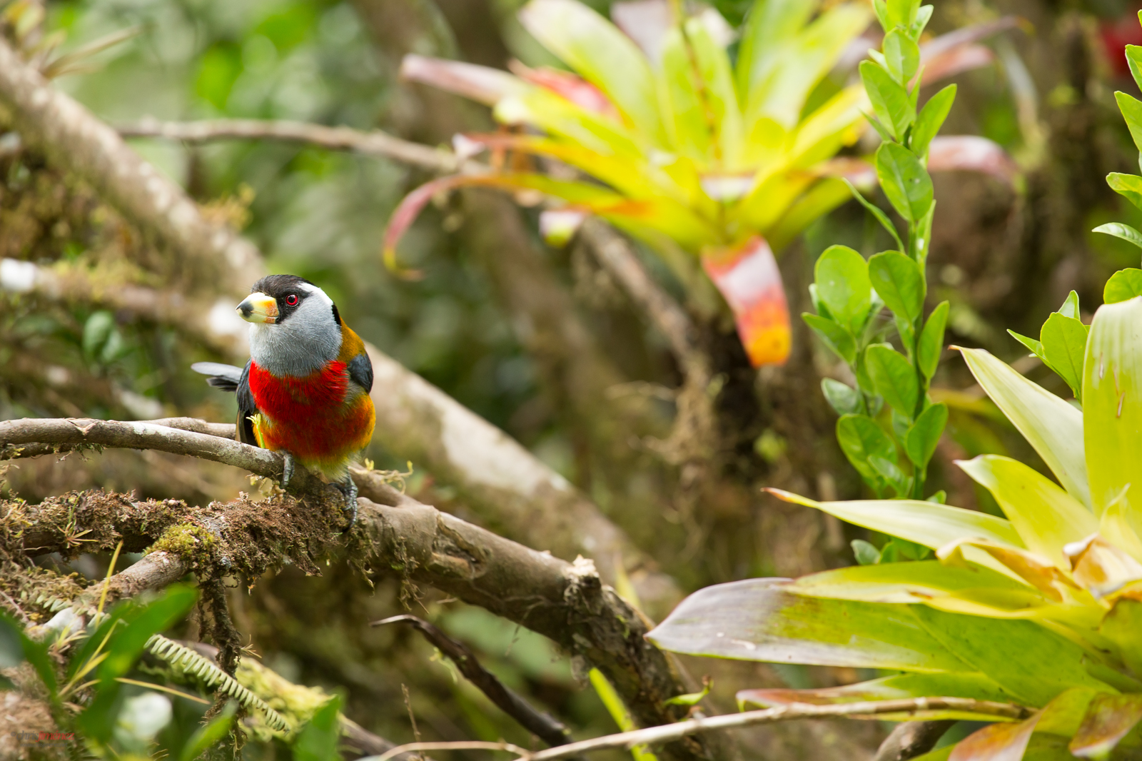 Toucan Barbet (semnornis ramphastinus) perched on a branch with a bromelia