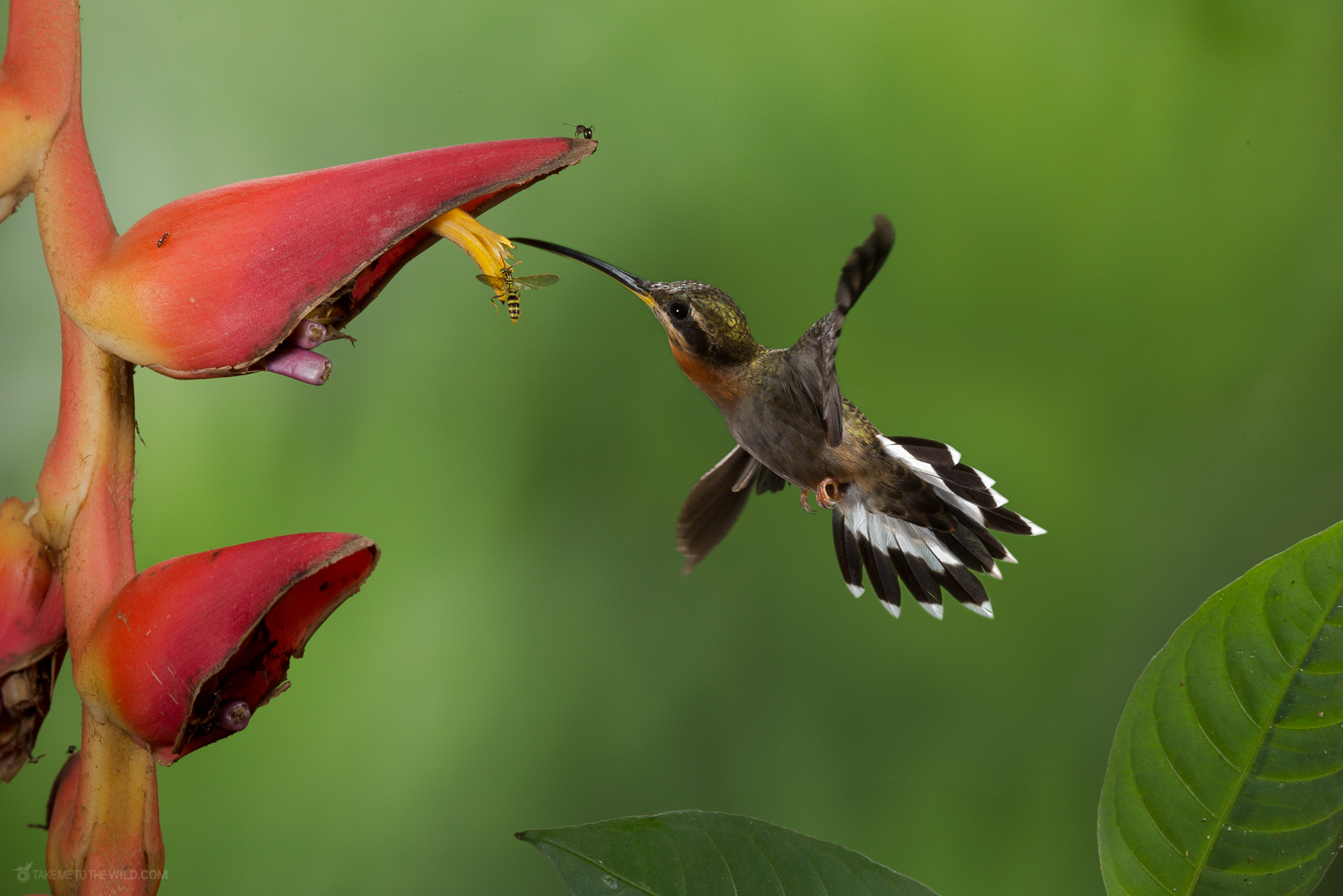 Band-tailed Barbthroat (Threnetes ruckeri) in flight feeding from heliconia flowers at the low lands of Costa Rica.