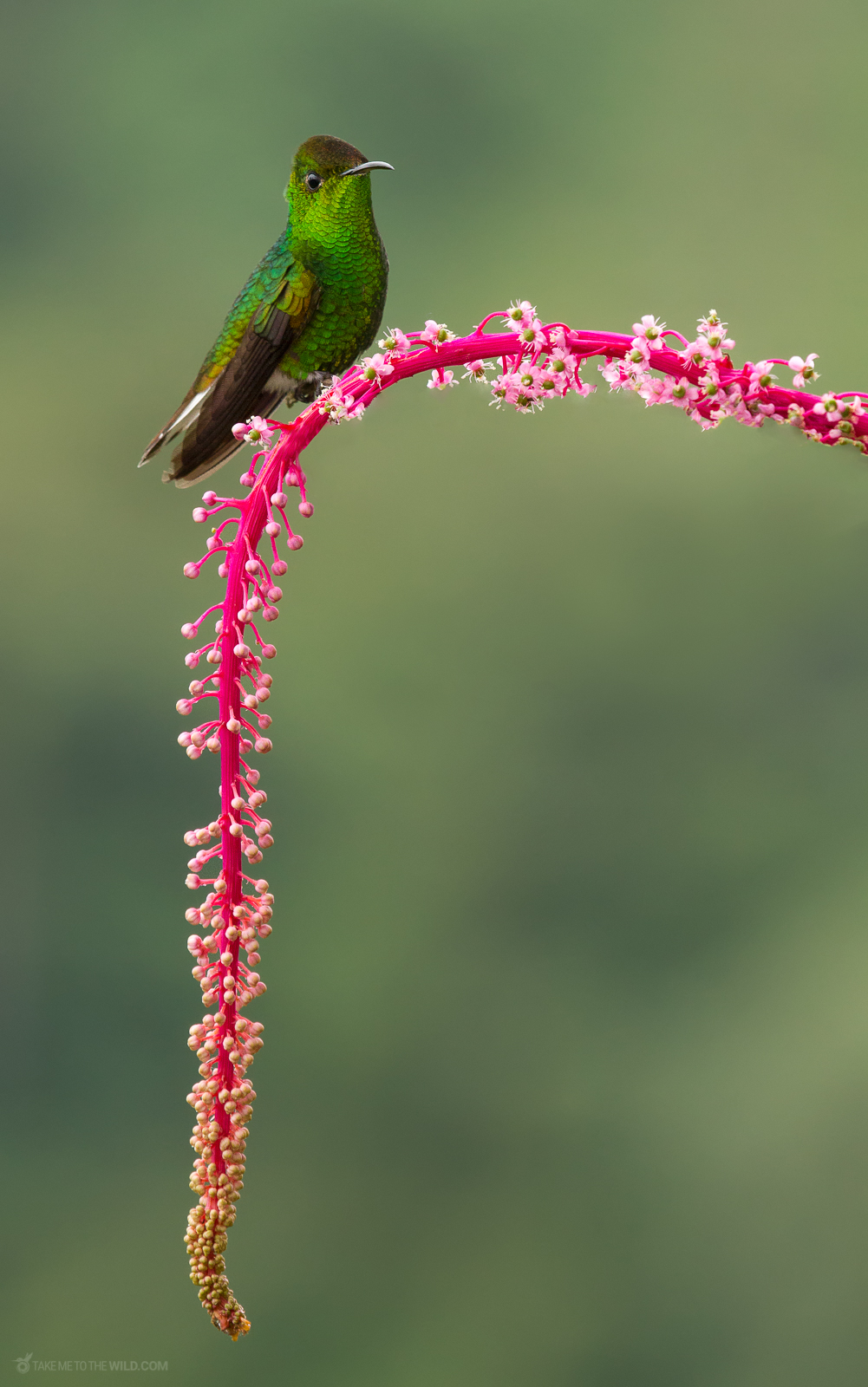 Coppery-headed Emerald, endemic from Costa Rica. Perched on flowers at Cinchona, Costa Rica.