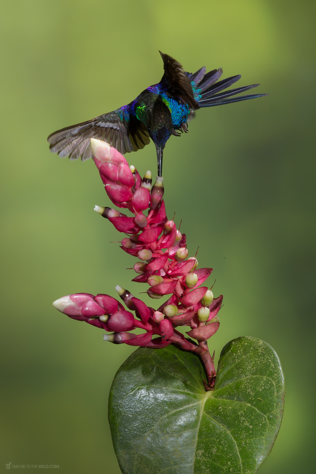 Crowned Woodnymph (Thalurania colombica ) male, feeding in flight from flowers at the highlands of Costa Rica.