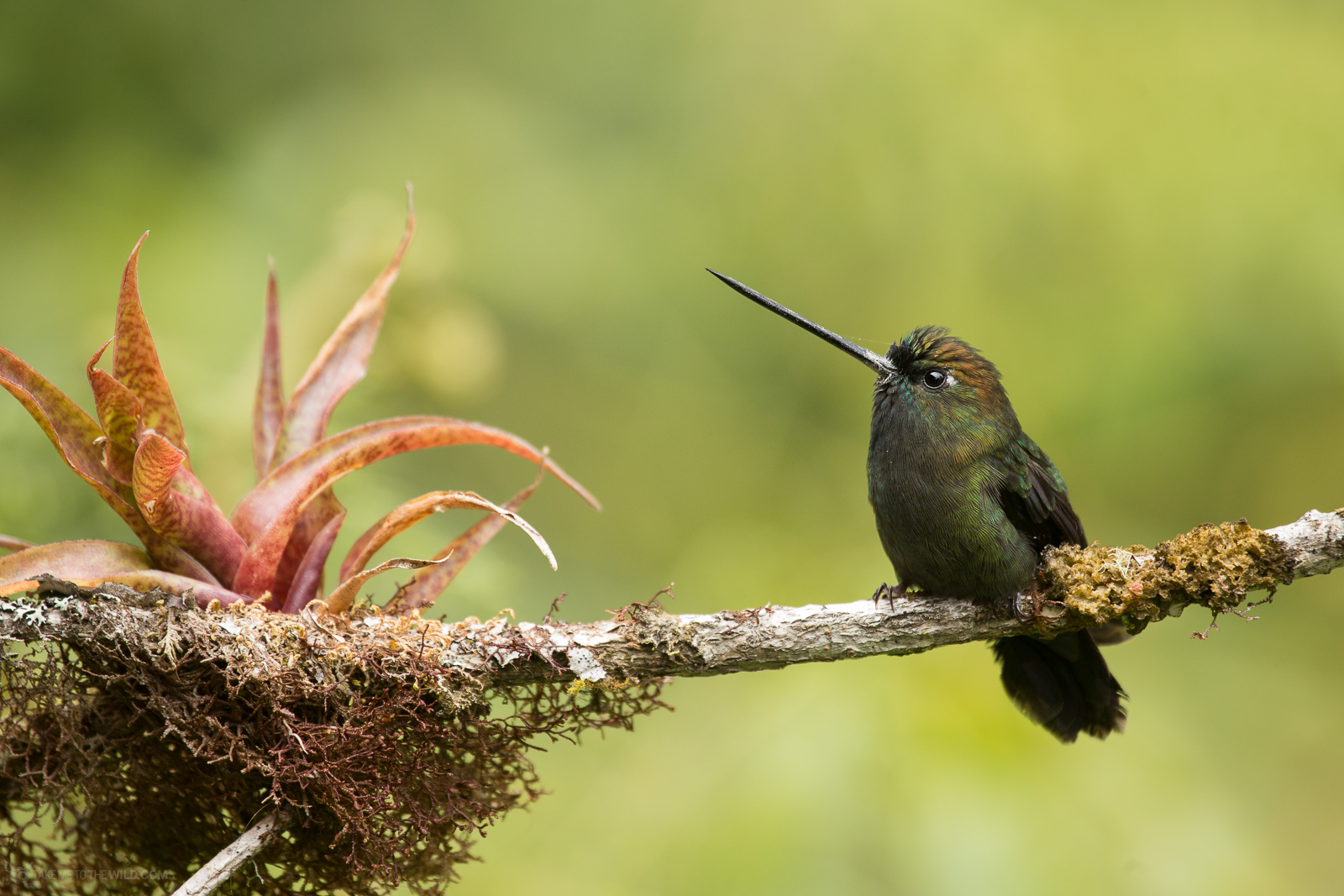 Green-fronted lancebill (Doryfera ludovicae) perched on a branch at the highlands of Costa Rica