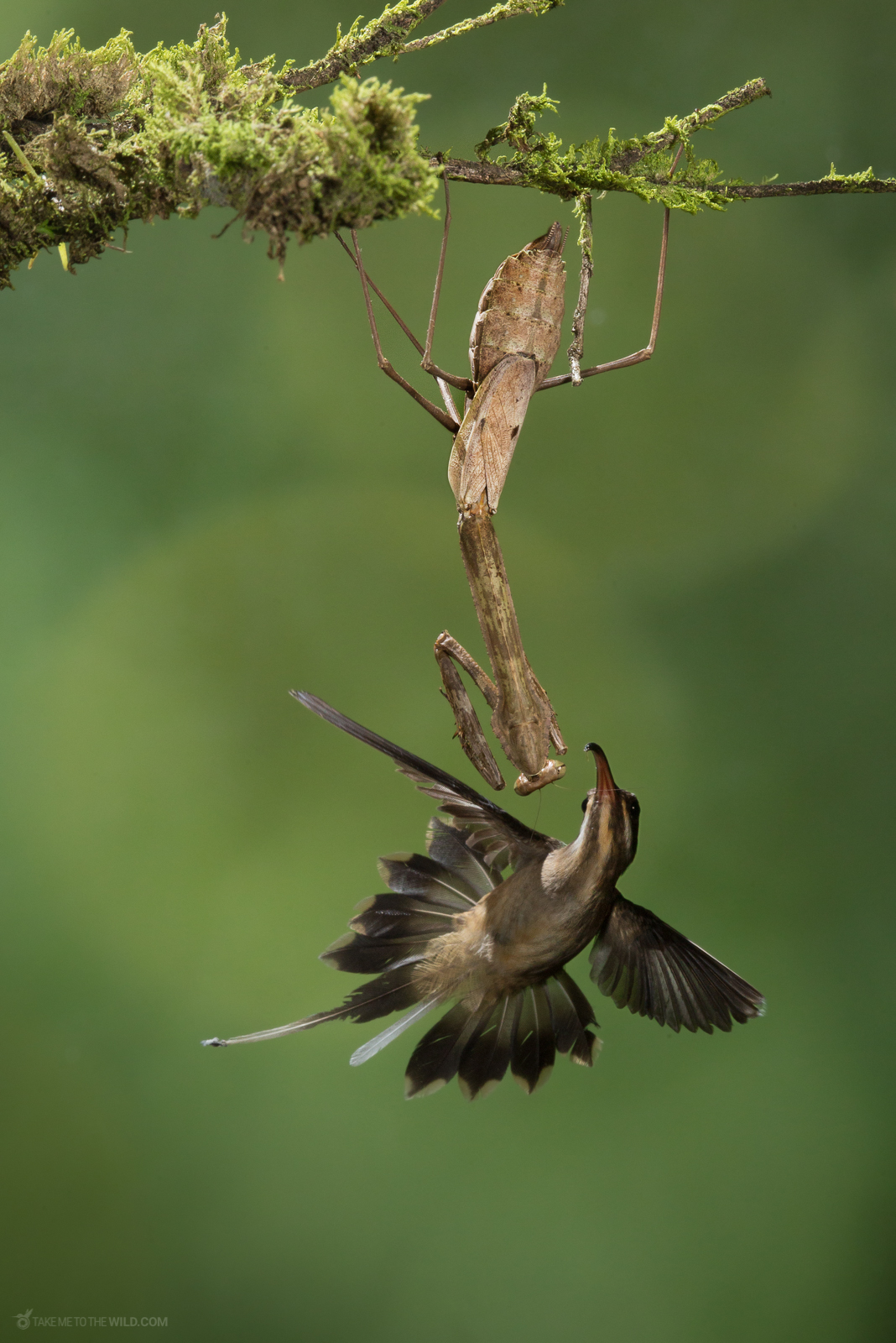 Long-billed Hermit (Phaethornis longirostris) pushing out of its terrytory a Mantis at the lowlands of Costa Rica