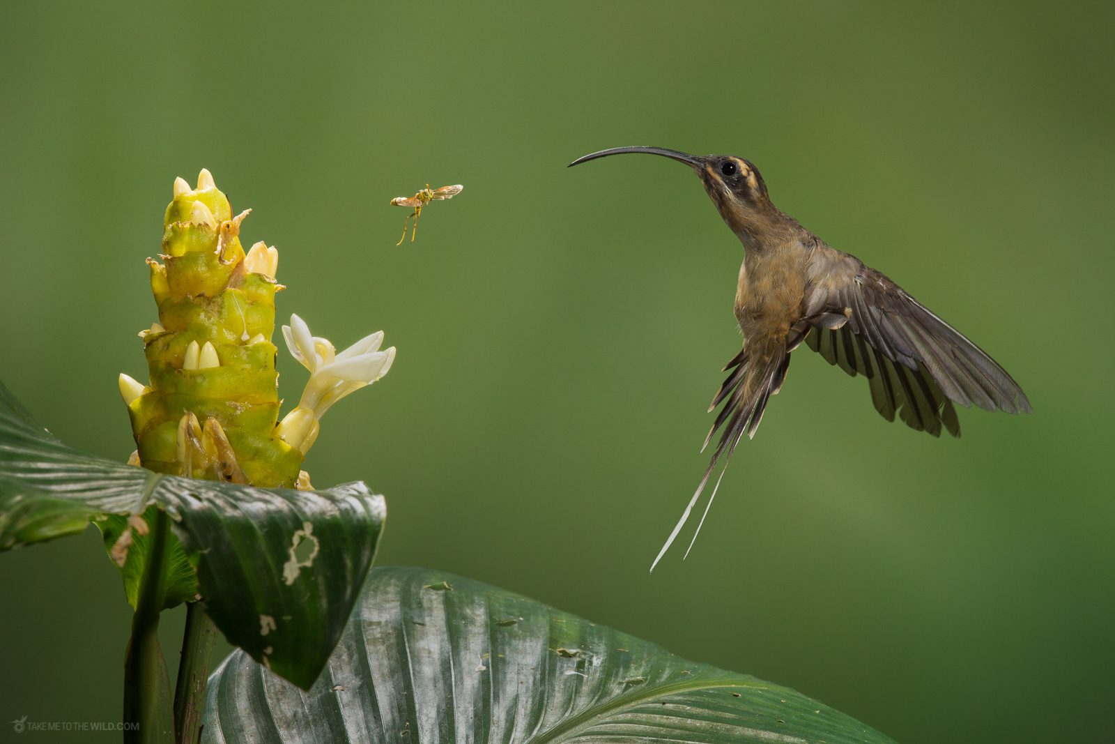 Long-billed Hermit (Phaethornis longirostris) fighting a bee at the lowlands of Costa Rica