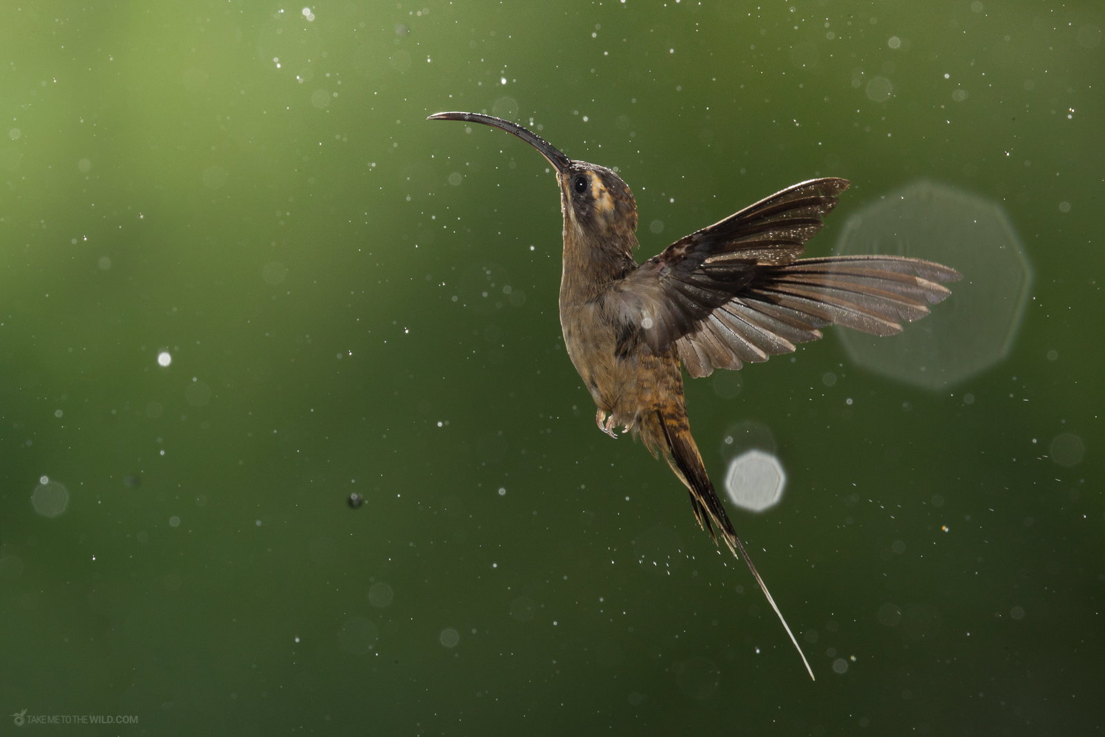 Long-billed Hermit (Phaethornis longirostris) in flight under the rain at the low lands of Costa Rica.