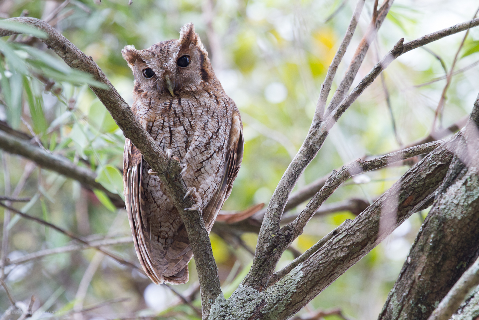 Tropical Screech Owl (Megascops choliba) perched on a branch during the day at Heredia Costa Rica