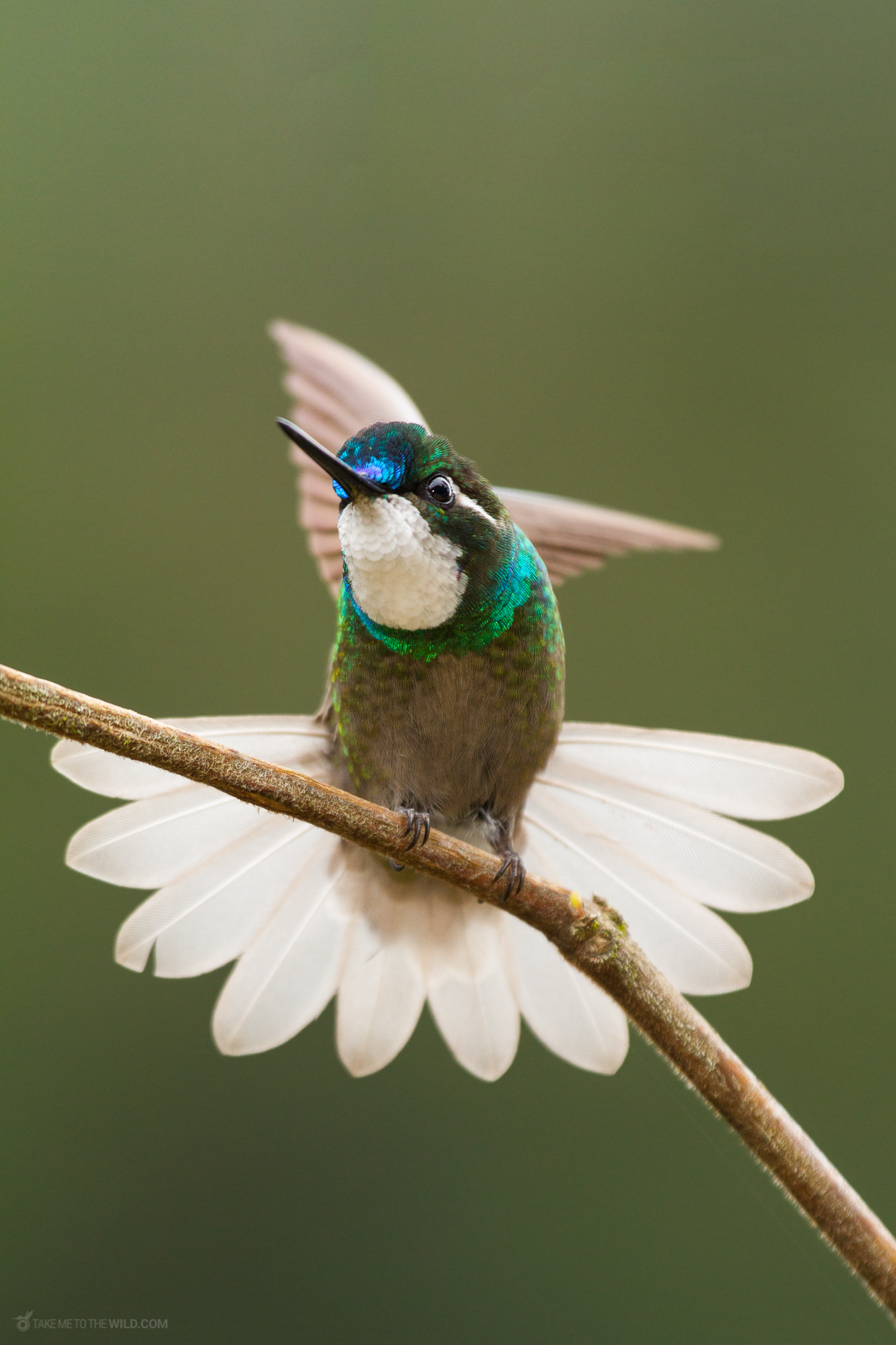 White-throated Mountaingem (Lampornis castaneoventris) perched on a branch at the highlands of Costa Rica