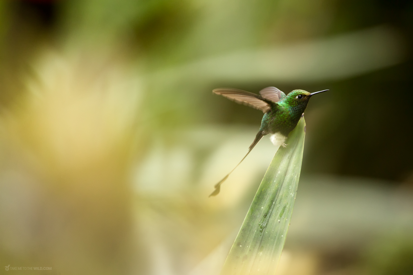 white-booted racket-tail (Ocreatus underwoodii) in flight under the morning light at Colombia